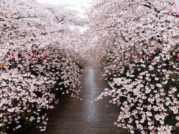 hoa anh đào nhật bản japan 2