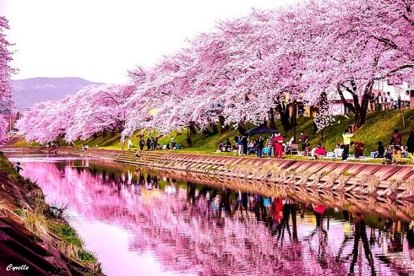 hoa anh đào nhật bản japan