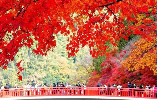 Rừng phong Nhật Bản tuyệt đẹp bắt đầu vào giữa tháng 10 đến tháng 11